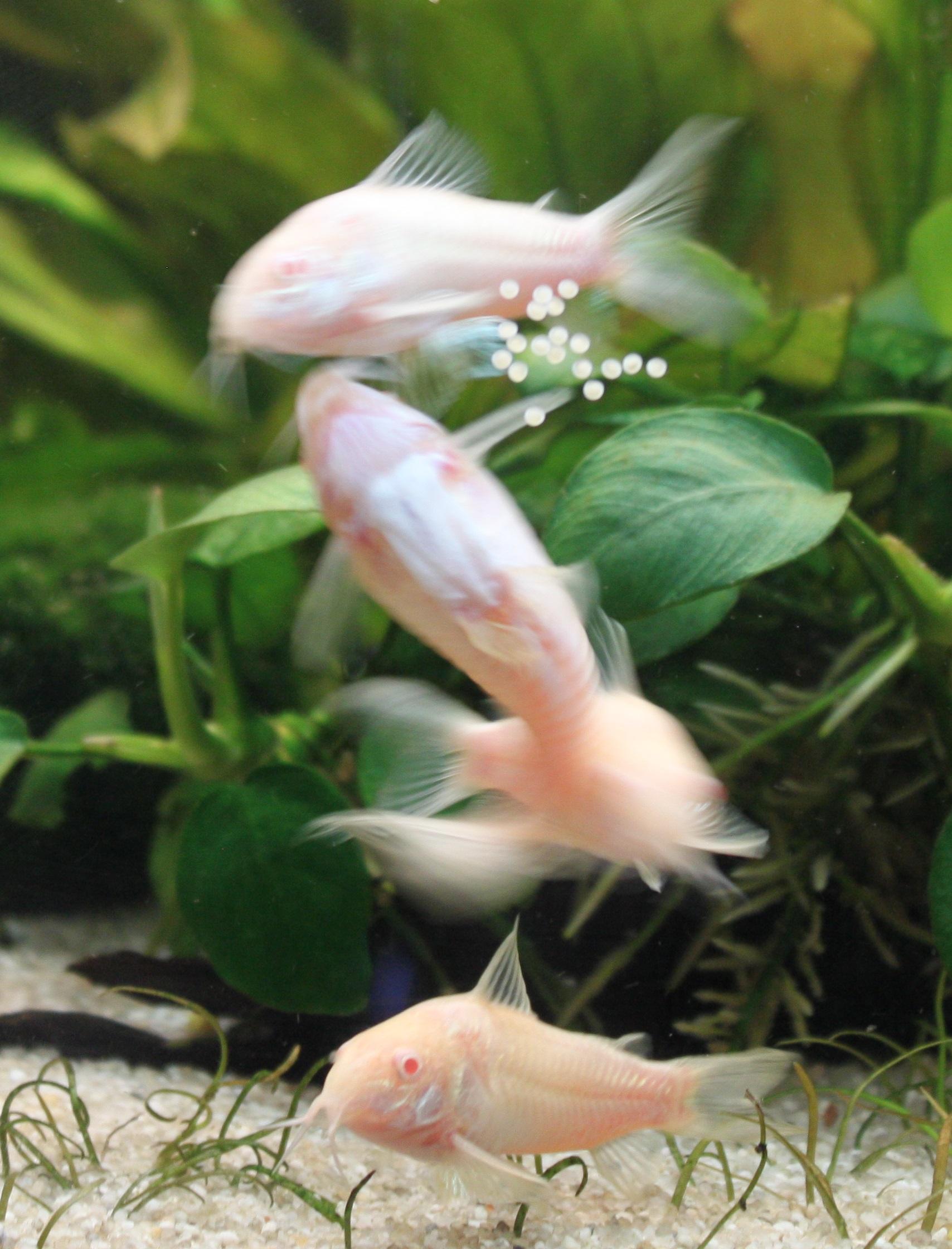 Albino Cory Spawning.JPG