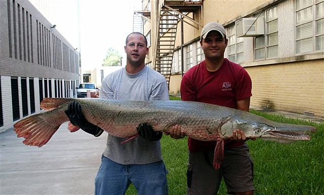 Alligator_Gar_6_Feet_129_lbs_Brazos_River_8_Nov_04a.jpg
