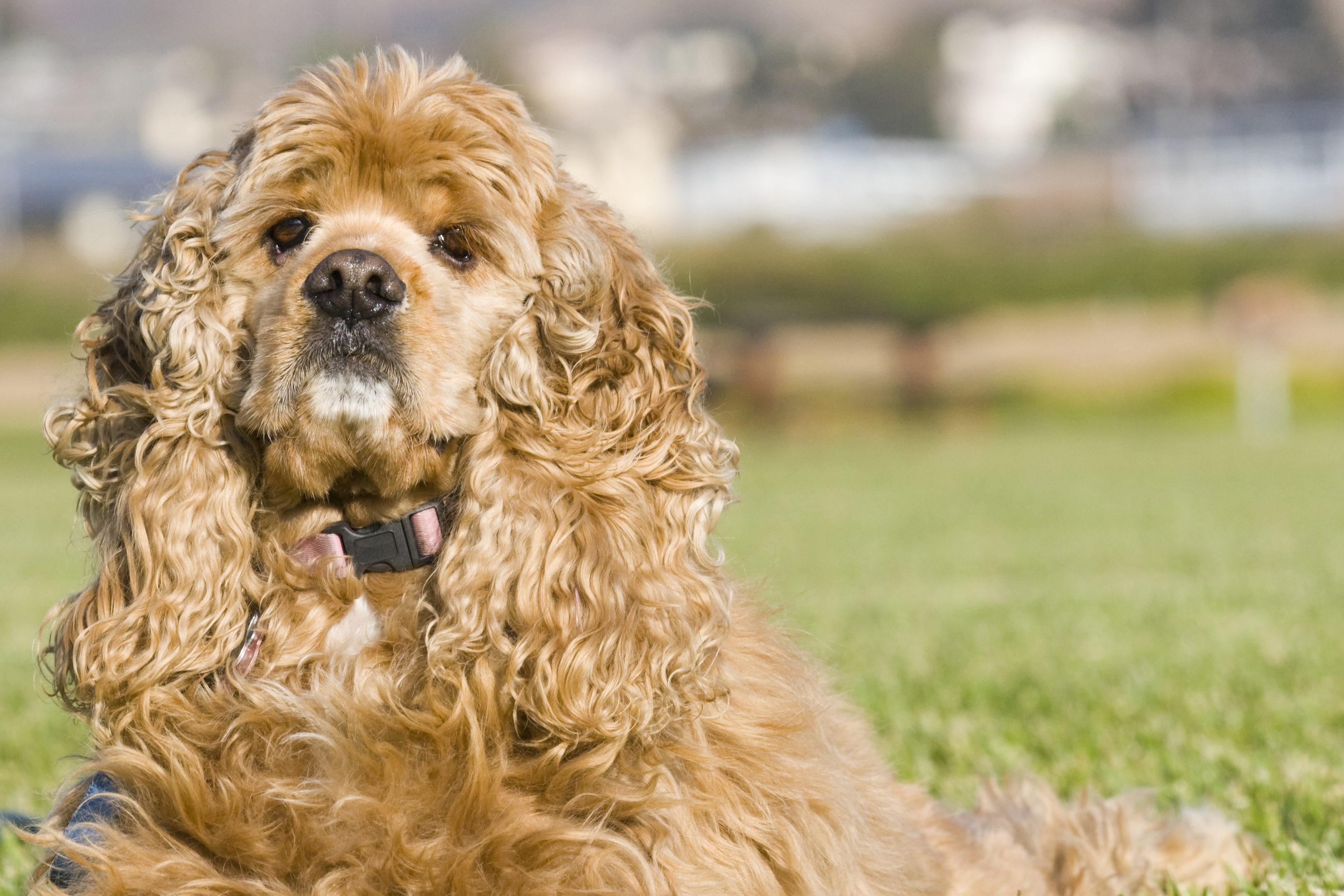 Cocker Spaniel Dogs For Sale In Wales