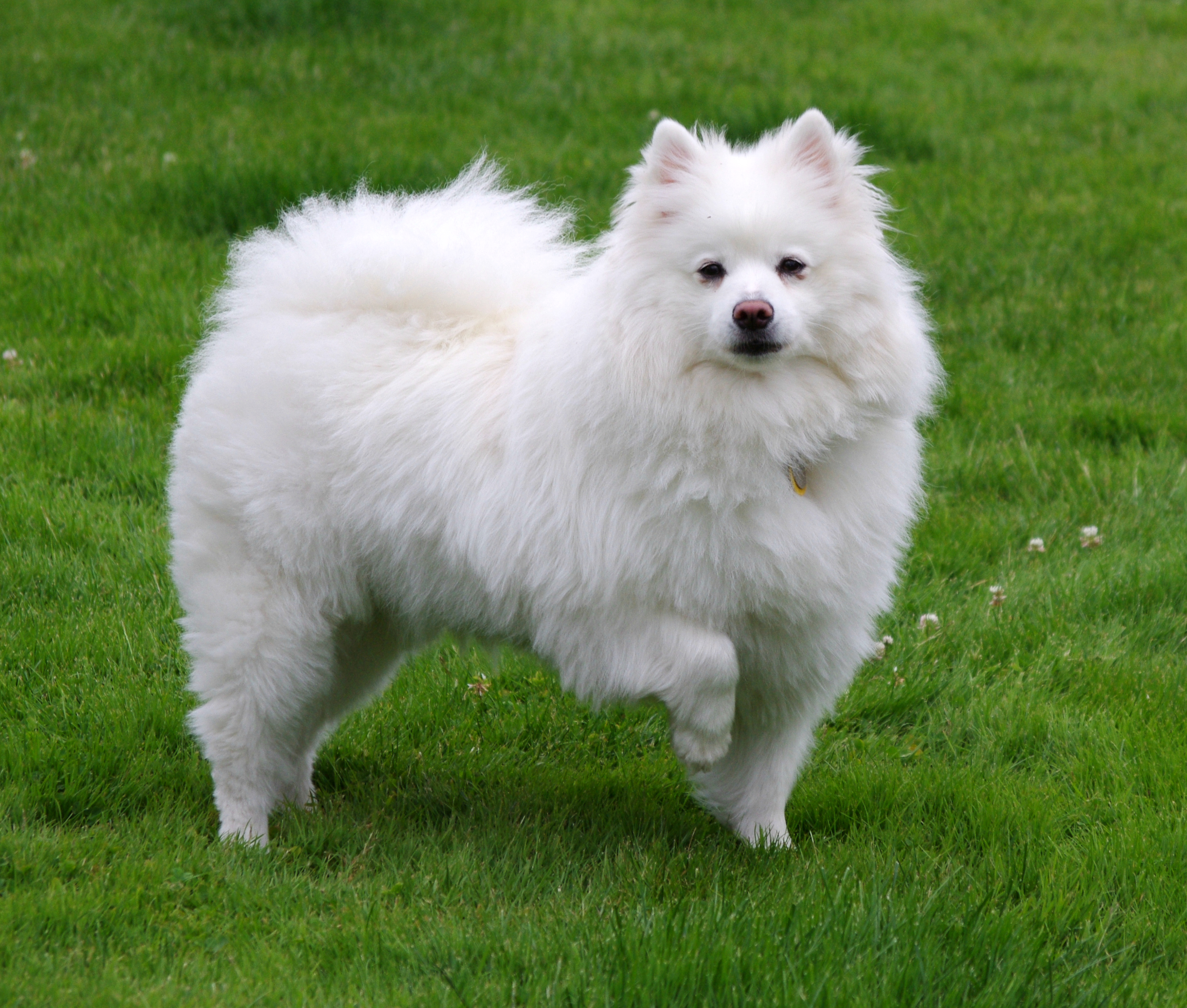 American Eskimo Dog Wikipedia