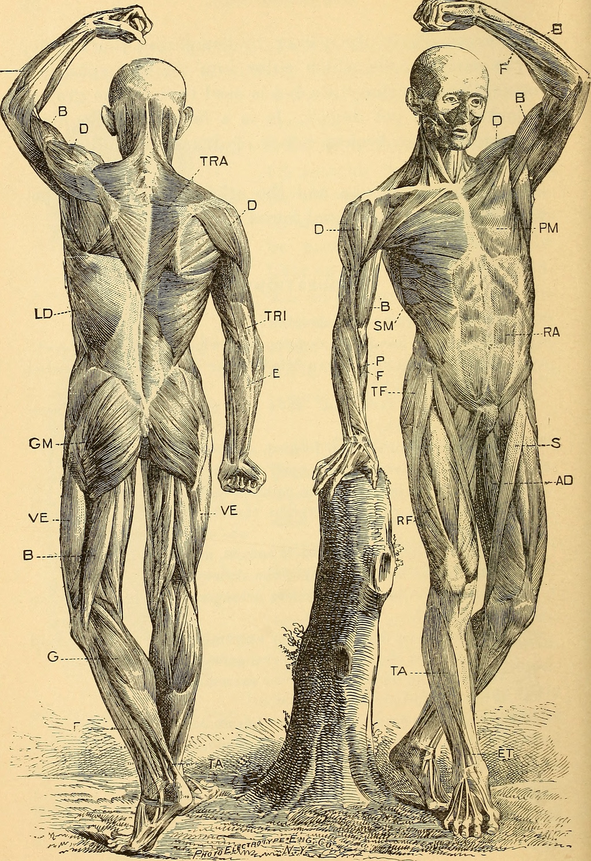 File:Anatomy, physiology and hygiene (1900) (14776689744).jpg ...