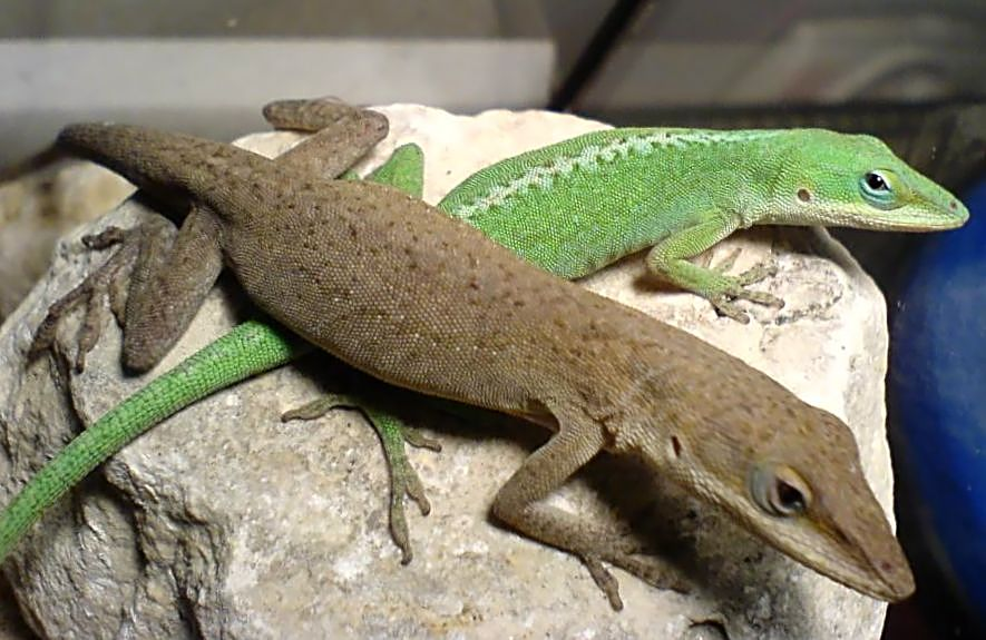 Male & Female Green Anole