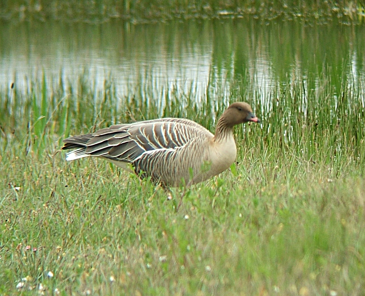Hunting Pink-footed Goose in iceland
