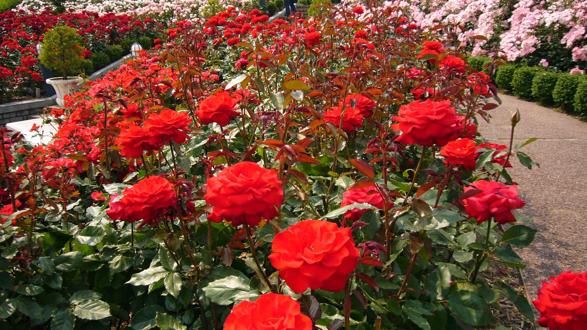 white rose flower garden wallpaper