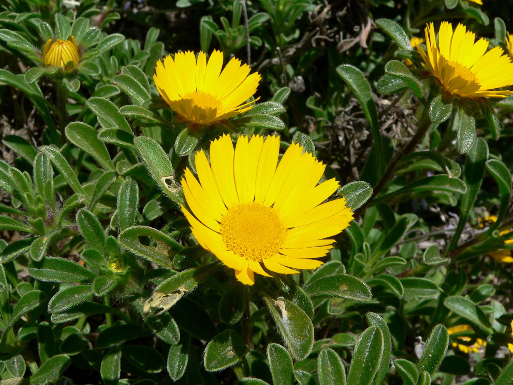 File Asteriscus Maritimus Flowers Jpg Wikimedia Commons