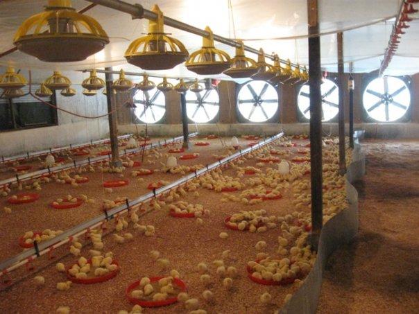 Analisis Investasi Kandang Ayam Terbuka Vs Closed House