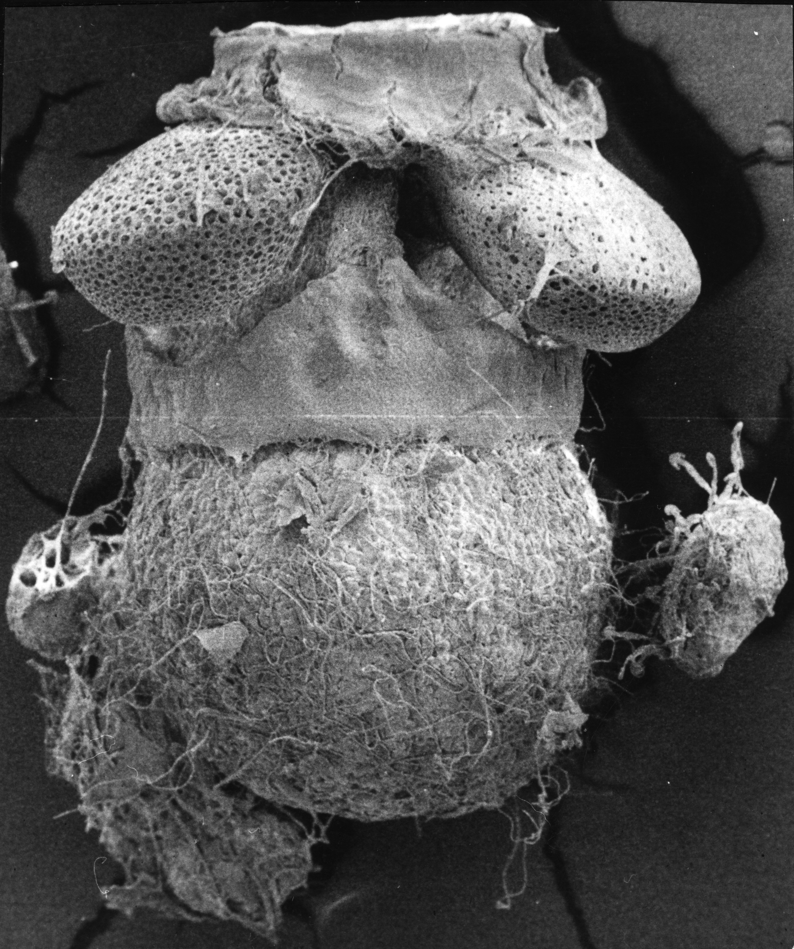 azolla megaspore and massulae postglacial galapagos islands sem 1.jpg