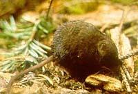 Bairds shrew species of mammal