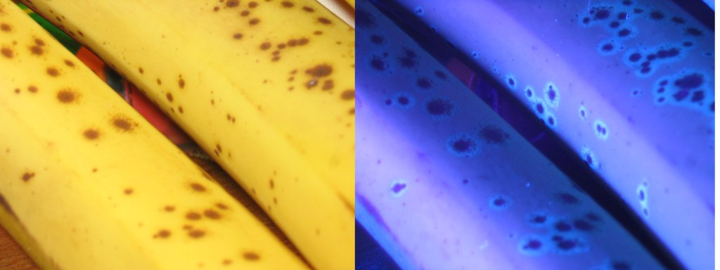 Two adjacent photos of bananas. The left is in sunlight; the right is under uultraviolet light.