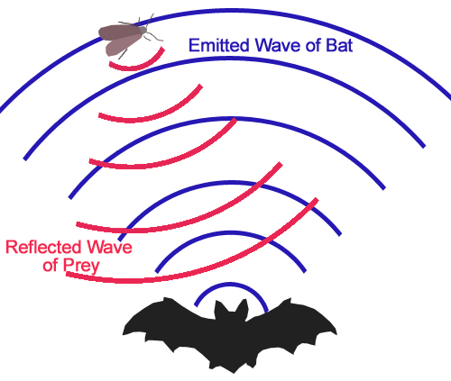 Bat echolocation.jpg