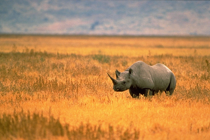 A Black Rhinoceros in Tanzania. (Credit: John and Karen Hollingsworth, U.S. Fish and Wildlife Service)