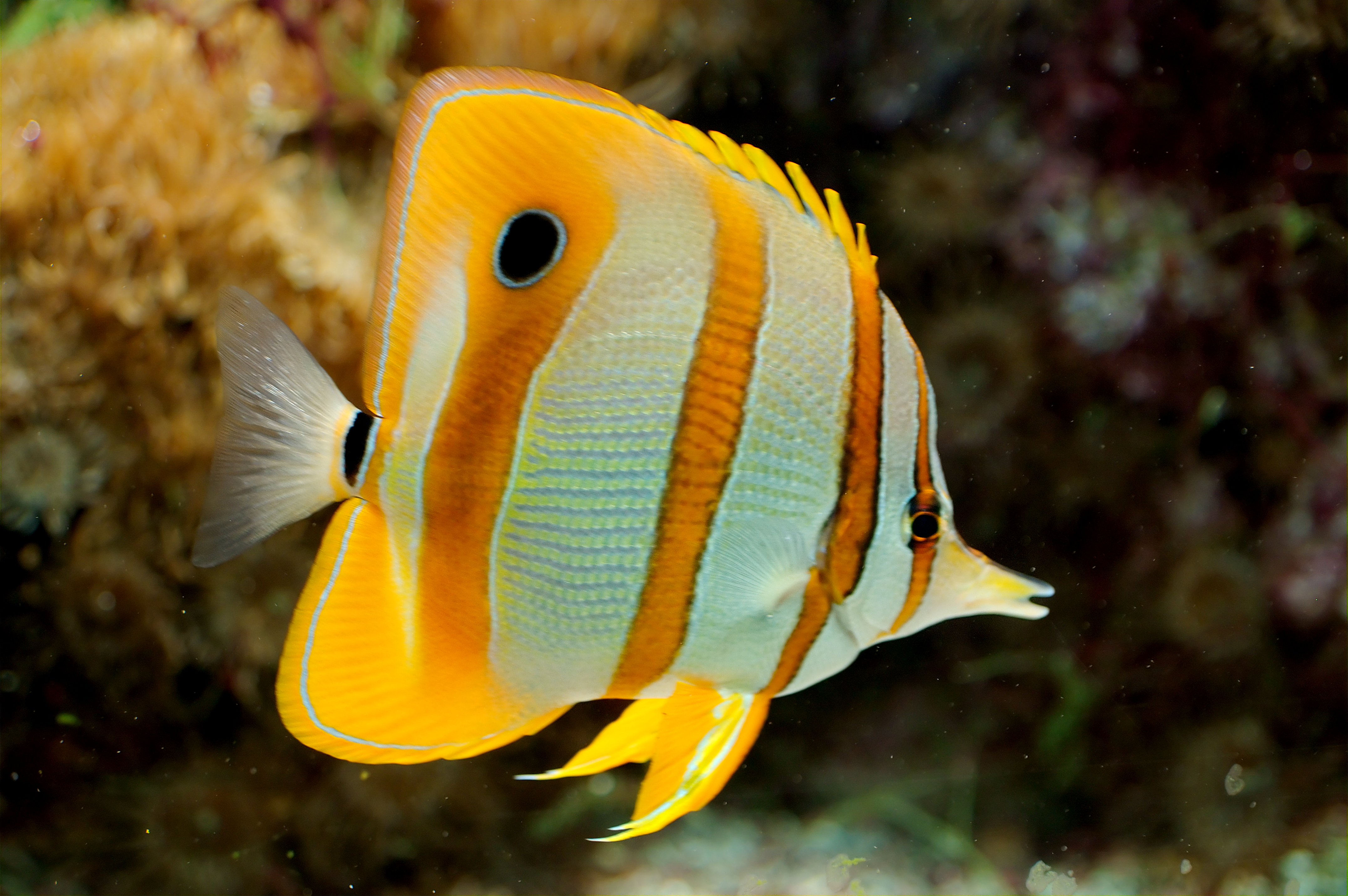 On fish Info striped butterfly