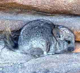 پرونده:Chinchilla brevicaudata.jpg