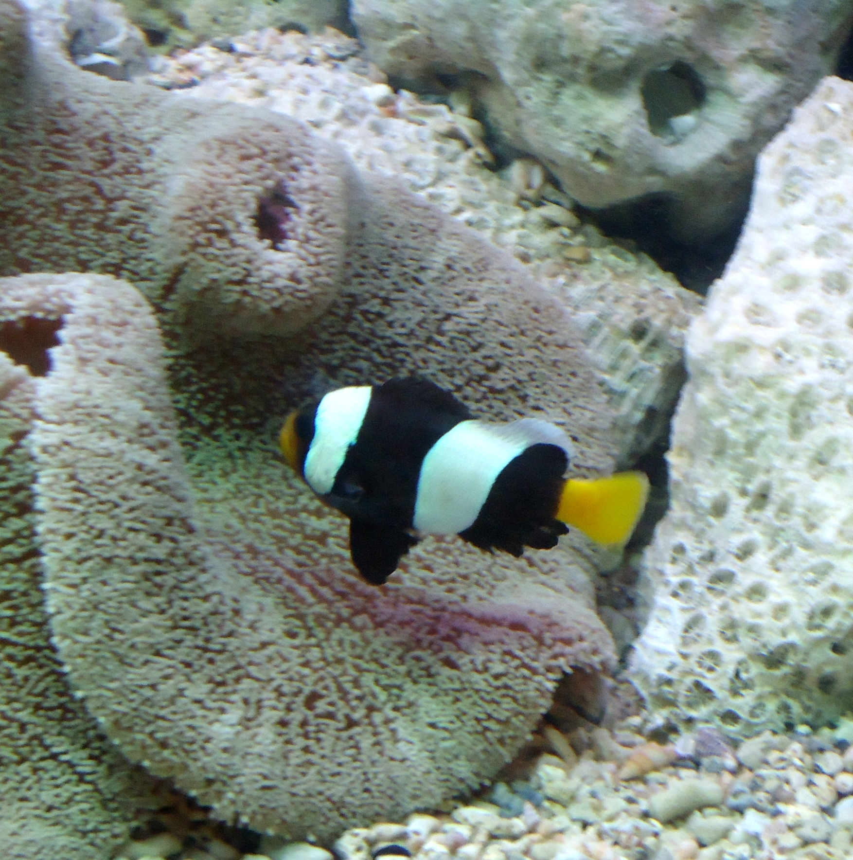Gallery for saddleback clownfish anemone for A clown fish