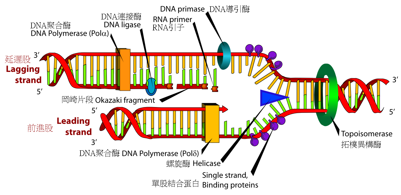 Description DNA replication zh.png