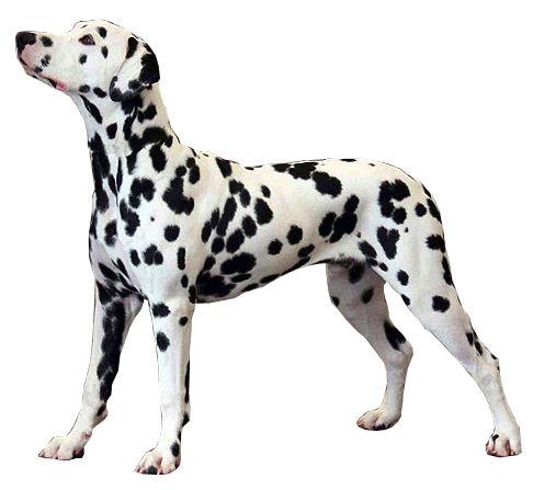 partes uretra perro