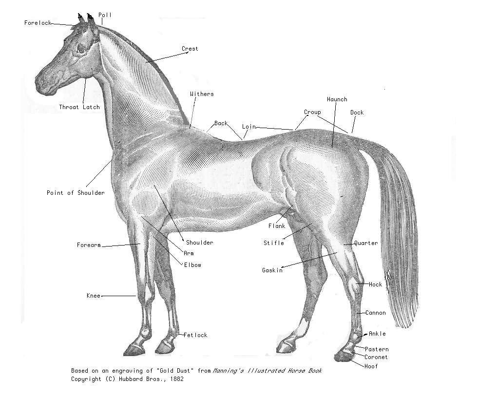how to draw parts of a horses