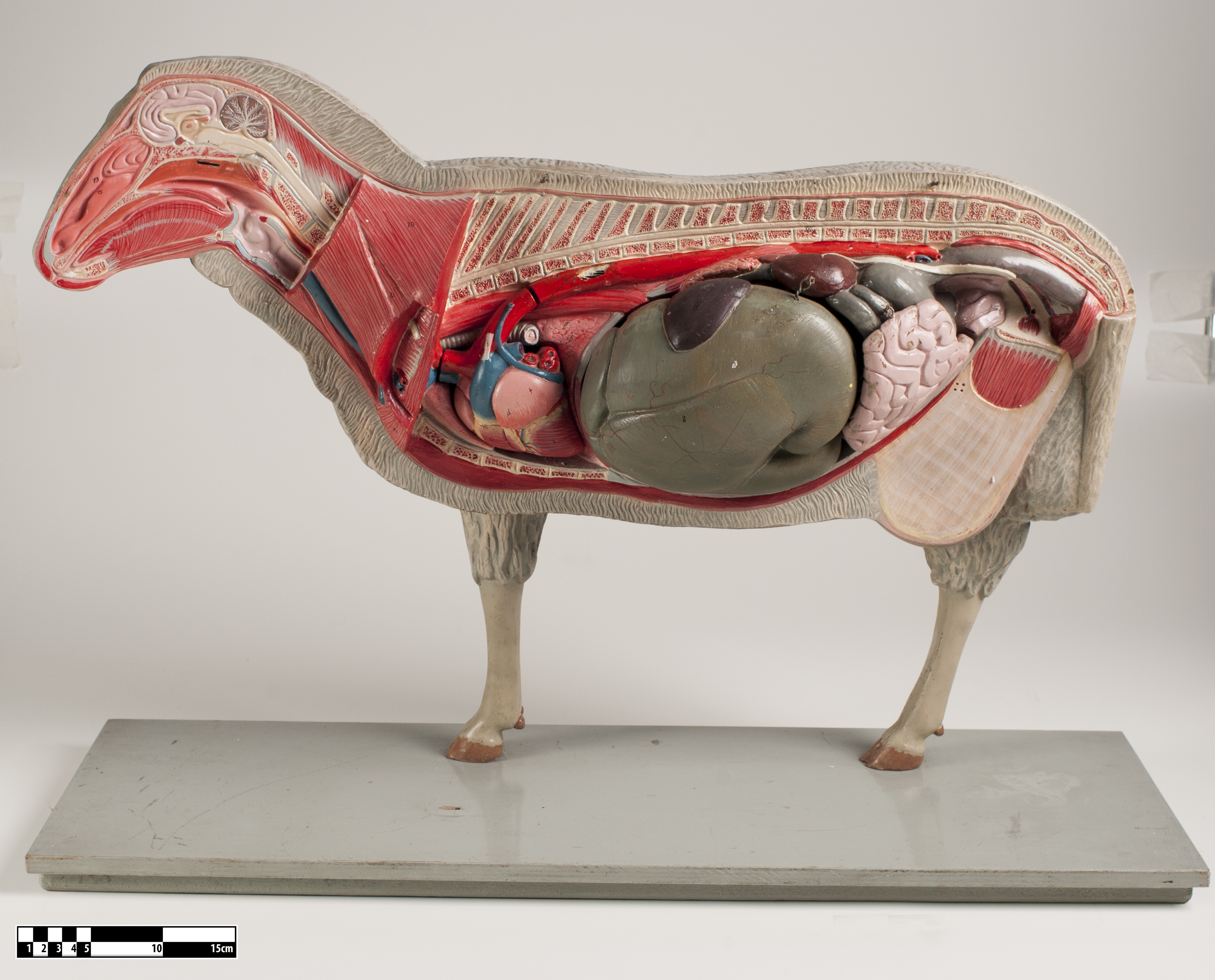 Filedidactic Model Of A Sheep 02 Fmvz Usp 30eg Wikimedia Commons