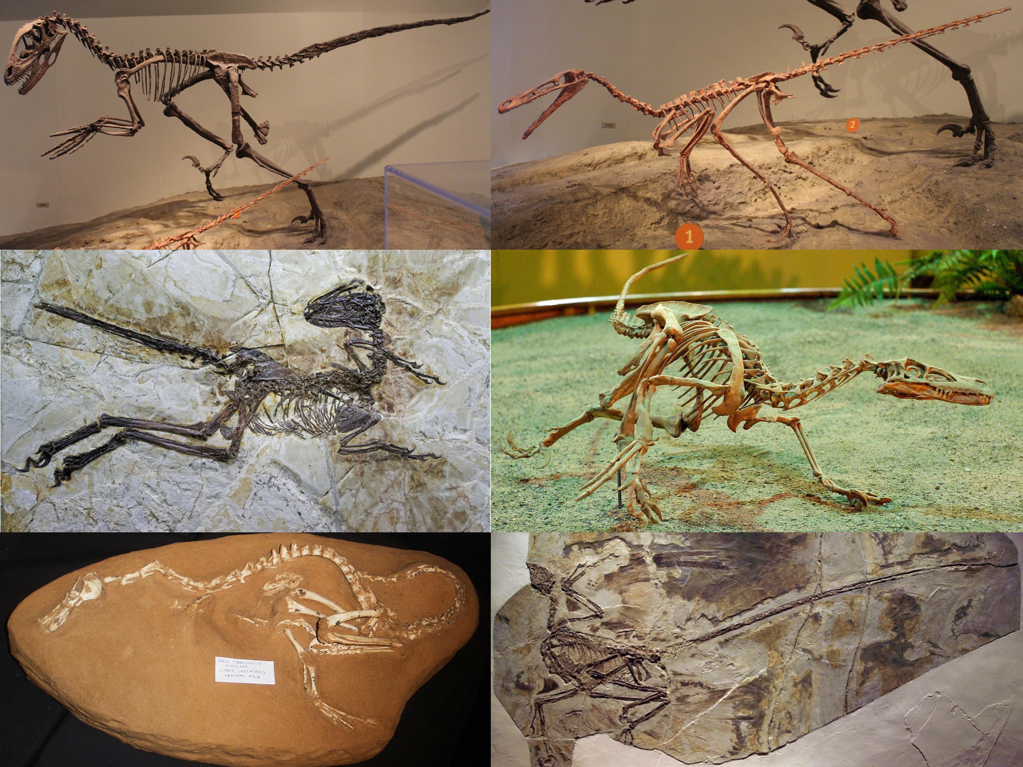 Dromaeosauridae - Wikipedia