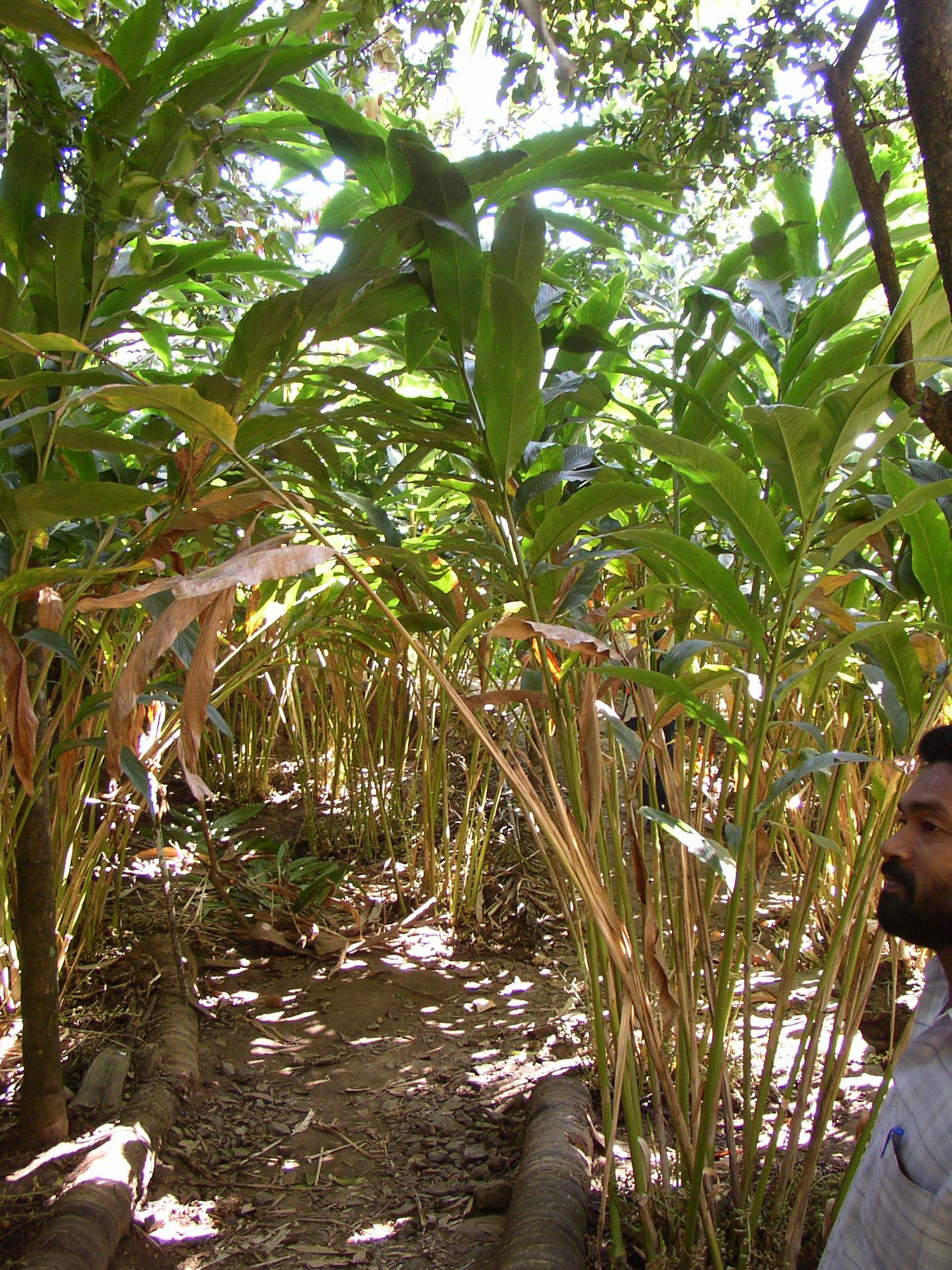 Elettaria cardamom under cultivation