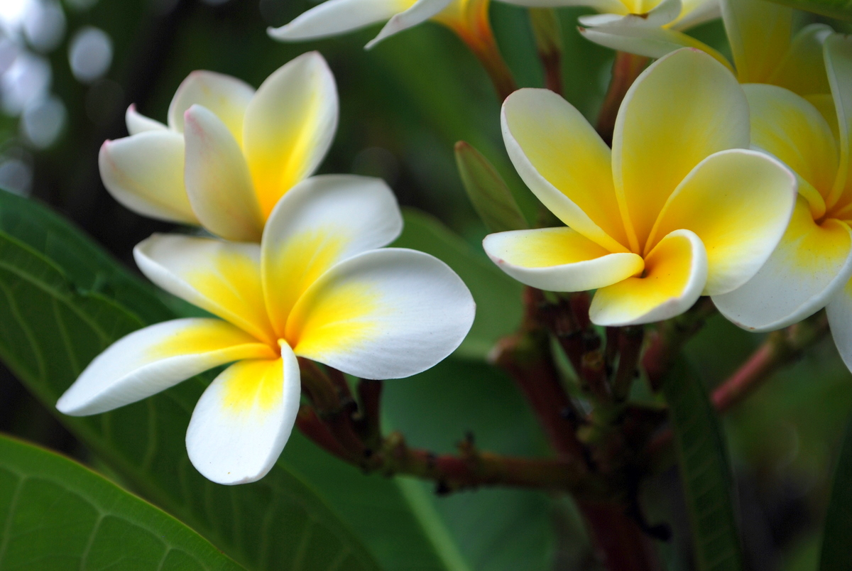 Flowers Photos Frangipani flowers jpg