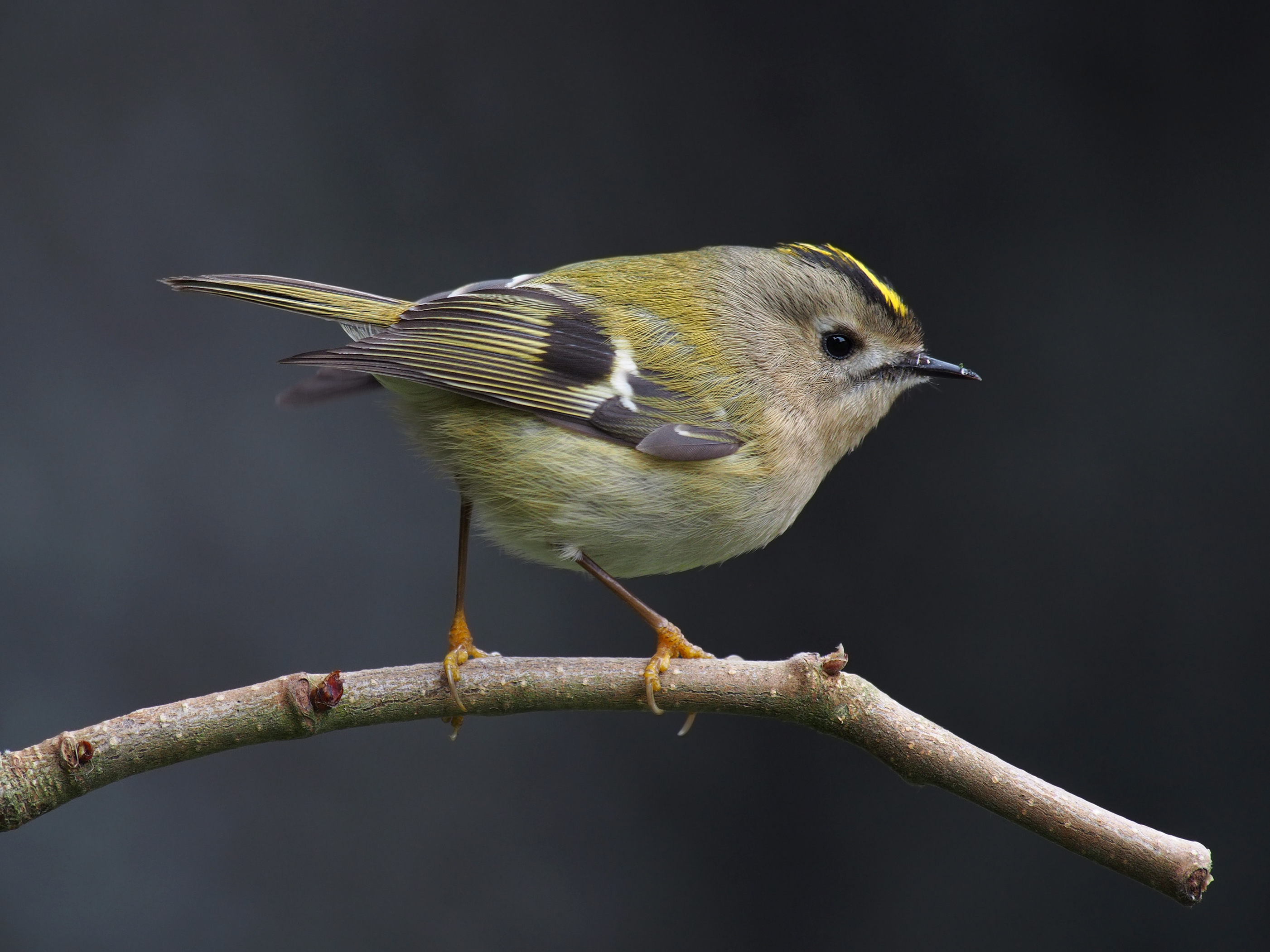 Which bird displays the chicks in winter