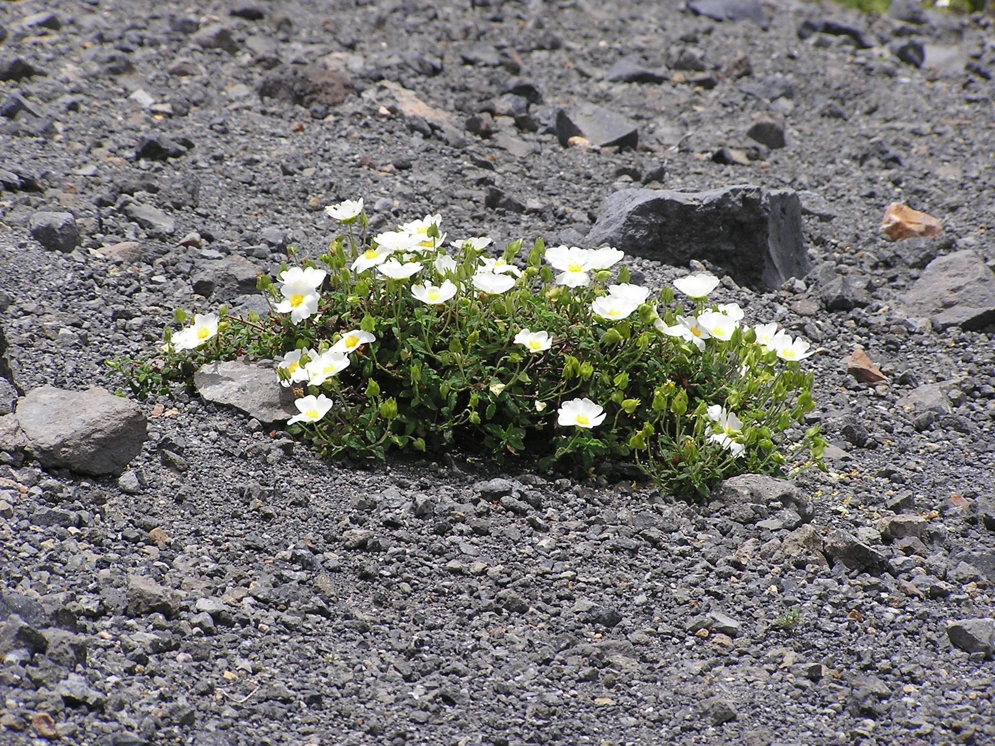 Fiori sul Gran Cratere