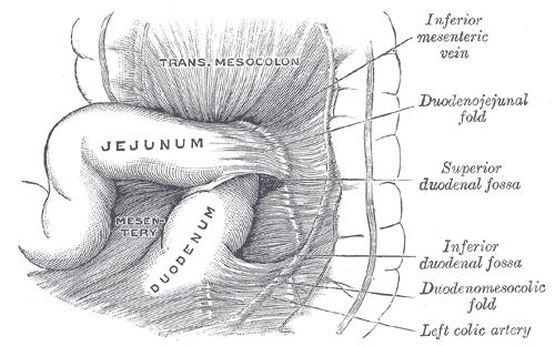 Duodenojejunal flexure - Wikipedia