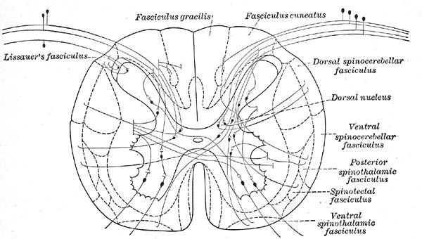 topographische anatomie neuroanatomie r252ckenmark