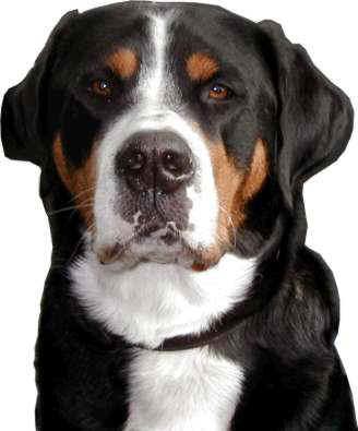 Großer Schweizer Sennenhund Basra