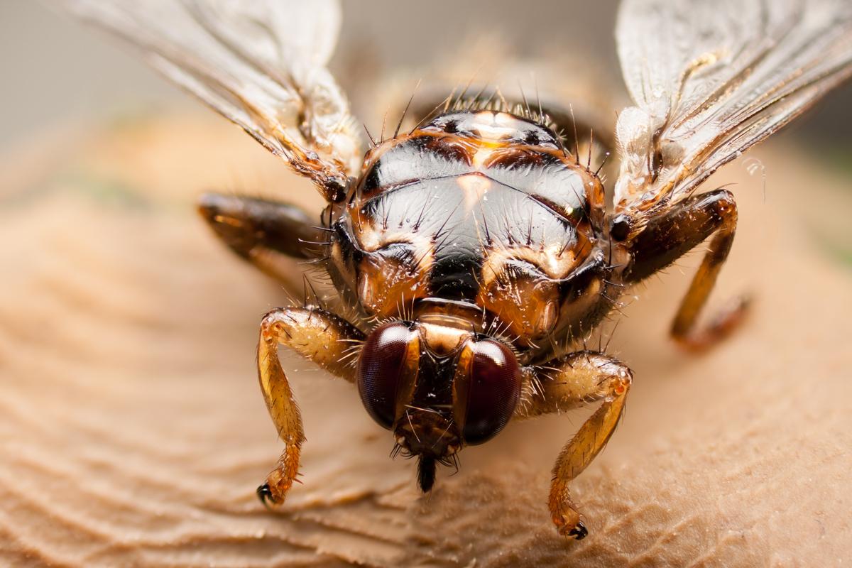 Qué moscas pican y qué aspecto tienen las picaduras de las moscas