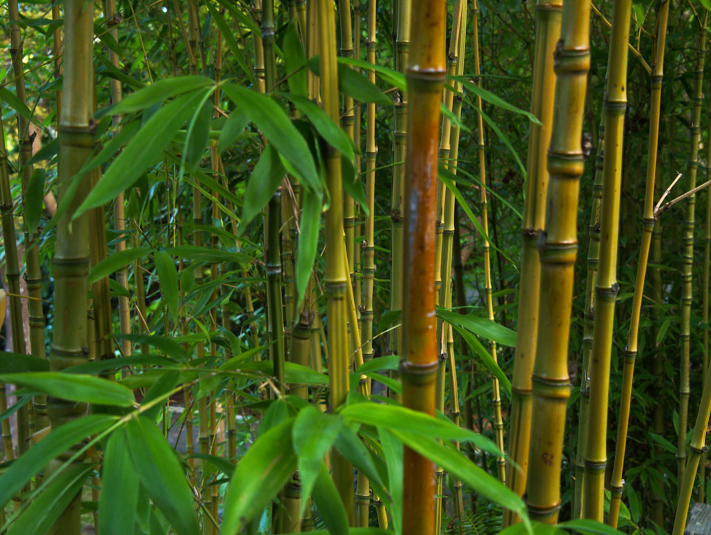bamboo plants for privacy