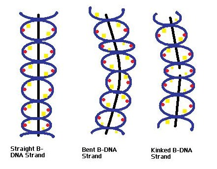 Principles of Biochemistry/Proteins-DNA Specificity - Wikibooks ...