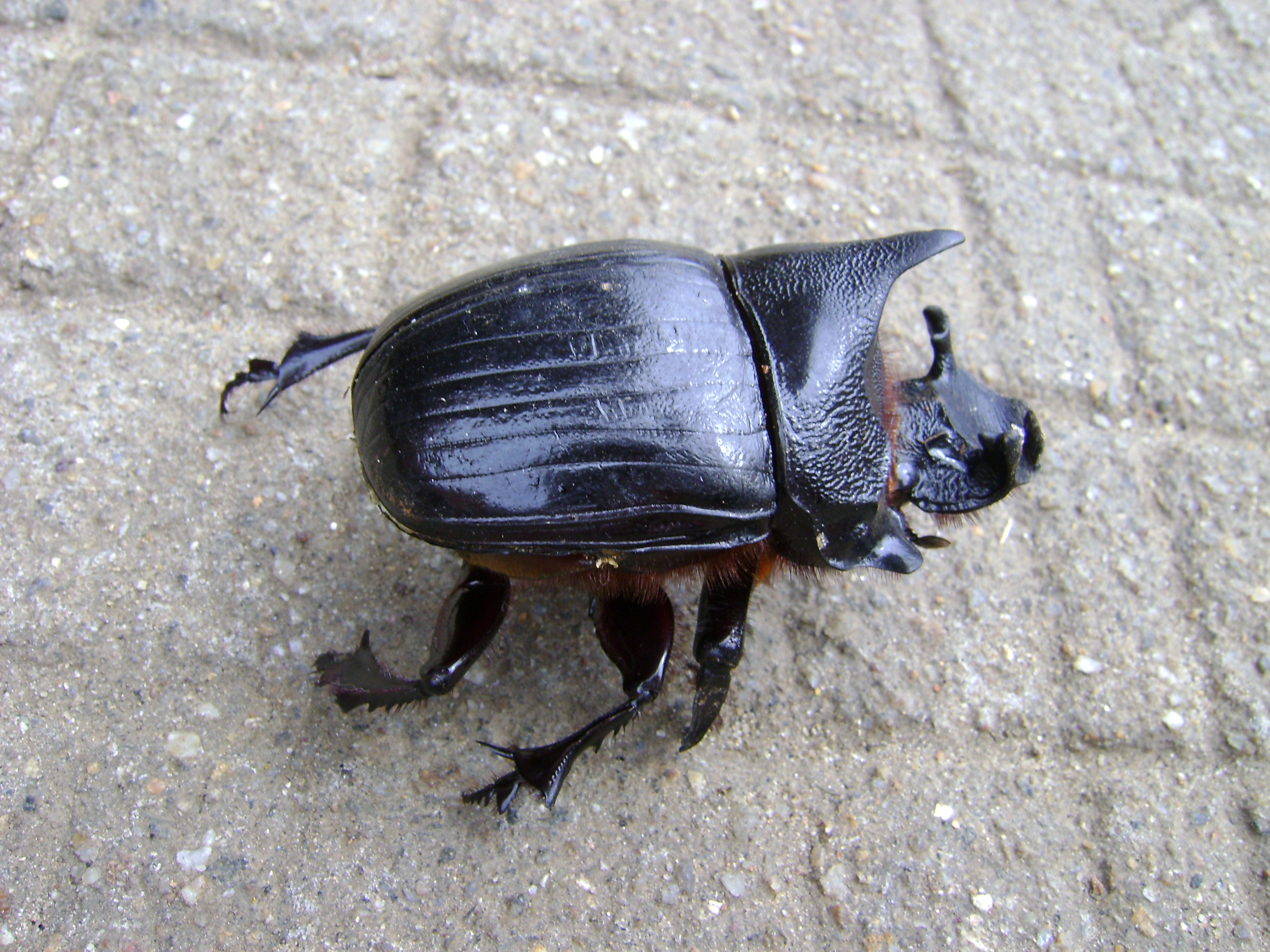 Filelarge beetle from keralag wikimedia commons filelarge beetle from keralag sciox Images