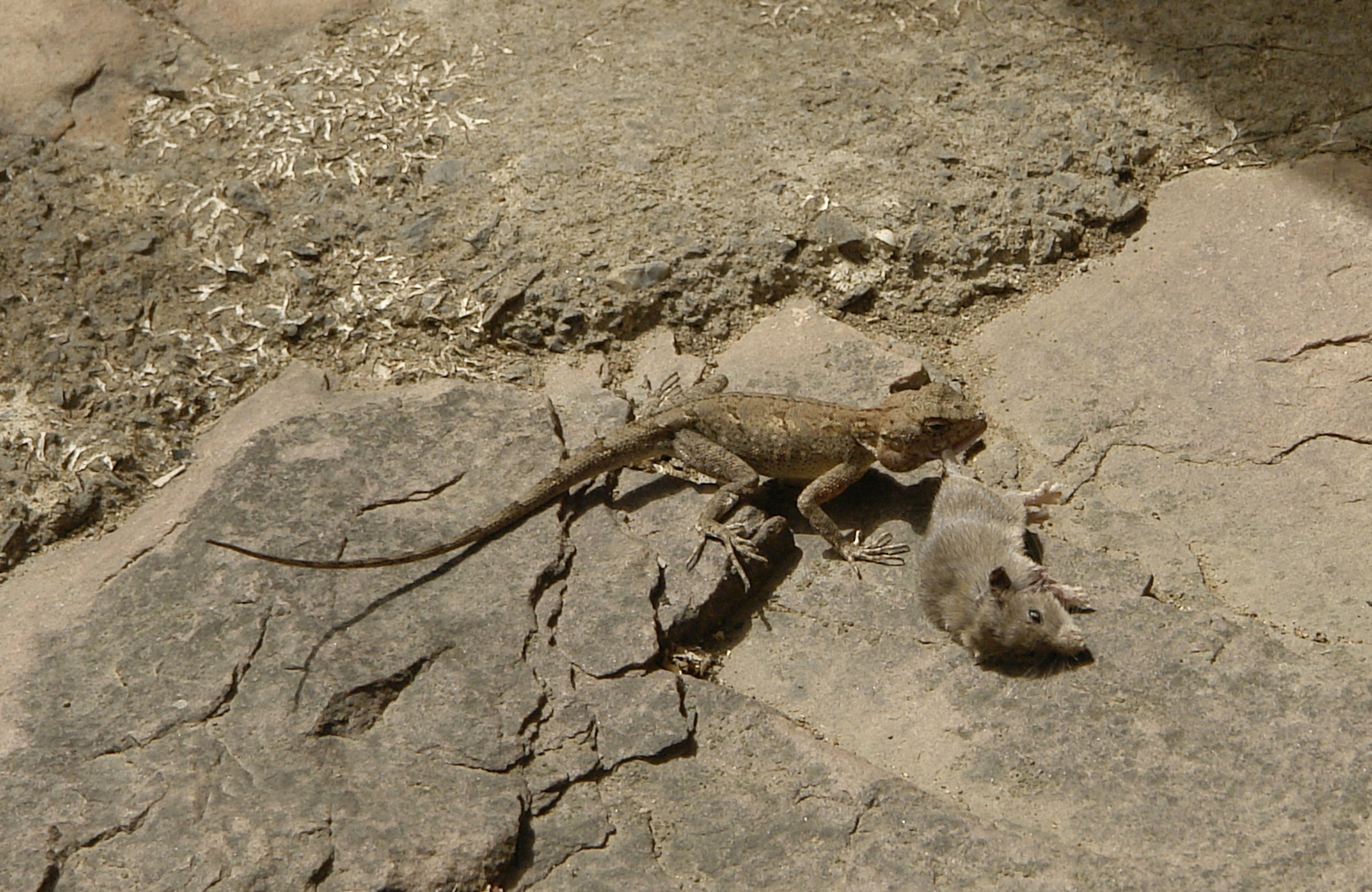 Lizards Eating Other Lizards File:lizard Eating a Mouse