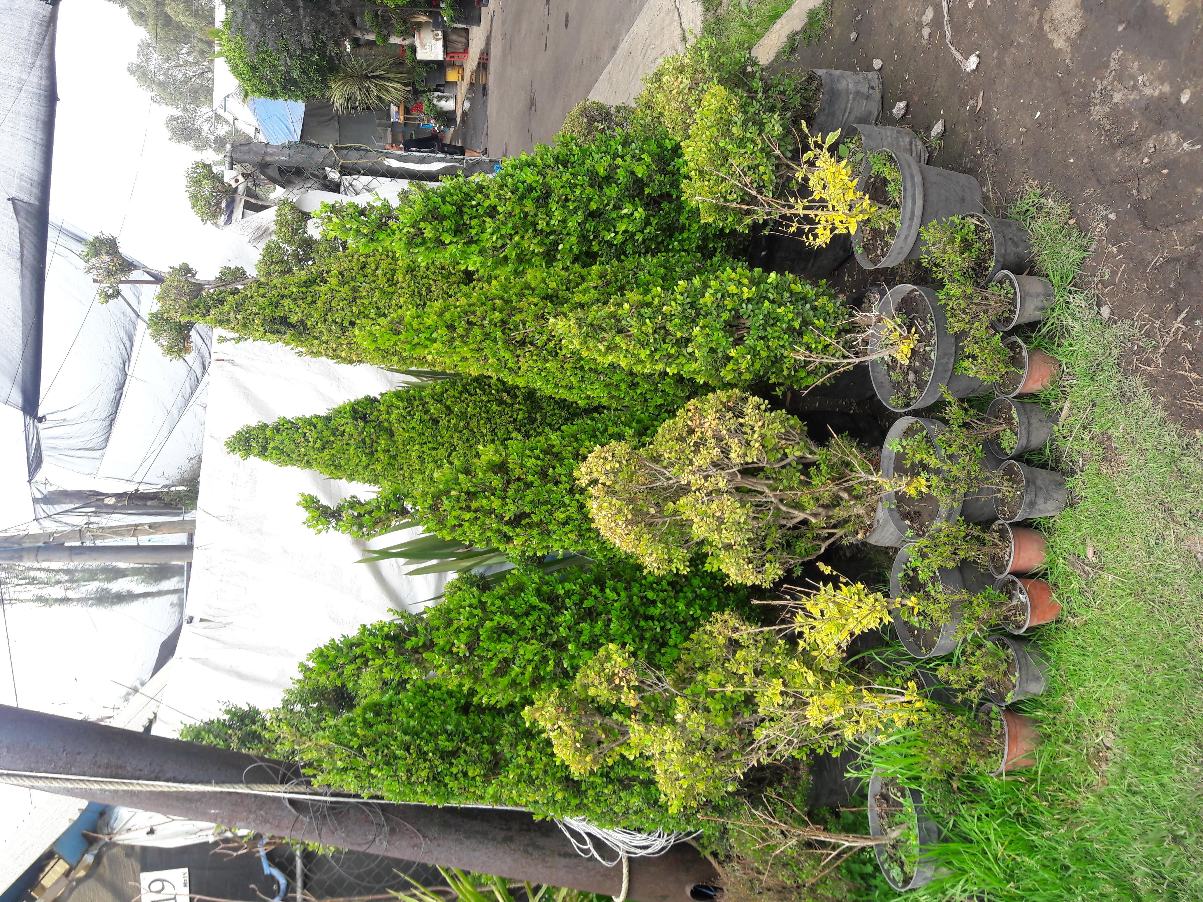 File local donde venden arboles peque os y medianos en el for Arbustos jardin pequeno