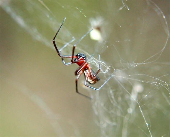 Bowl and doily spider - Wikipedia Bowl And Doily Weaver Spider