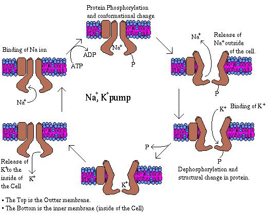 funcion de los esteroides en las plantas