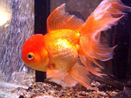 Fish Tank Forum ? View topic - Fancy Goldfish