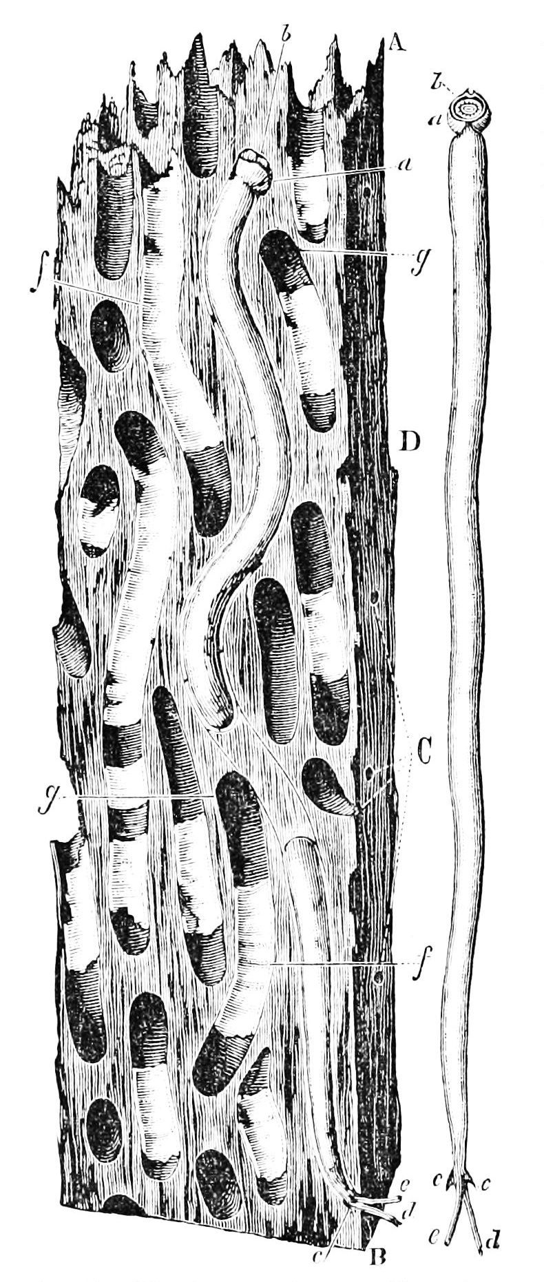 PSM V13 D564 Wood exposed to teredo depredation.jpg
