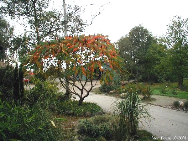 rhus guys Wild sumac, jackson heights, new york 22 likes sumac lovers: this page is all about the 35 species of trees/shrubs in genus rhus photos, juice.