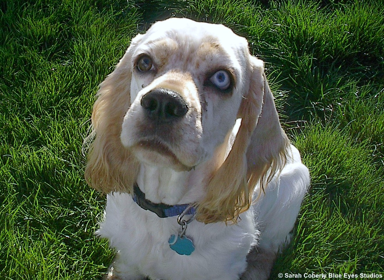 American Cocker Spaniel breed dog with big eyes