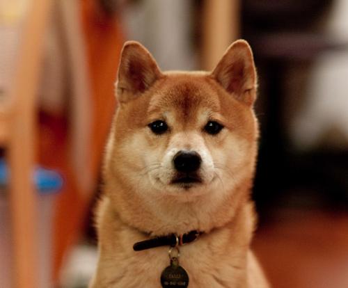 Shiba Dog Rescue