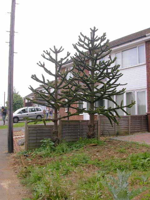 File Small Garden With Two Monkey Puzzle Trees Wikimedia Commons