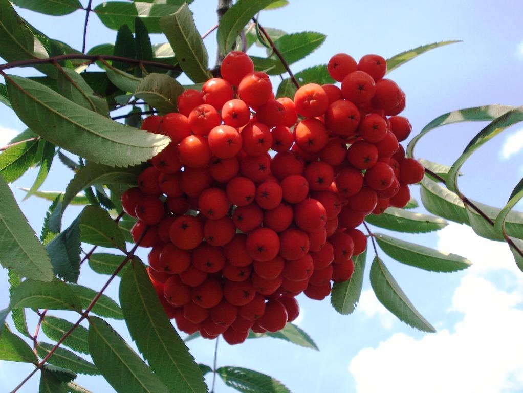 file sorbus aucuparia var edulis fruits and leaves jpg. Black Bedroom Furniture Sets. Home Design Ideas