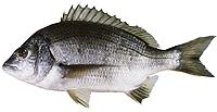 <i>Acanthopagrus butcheri</i> Species of fish