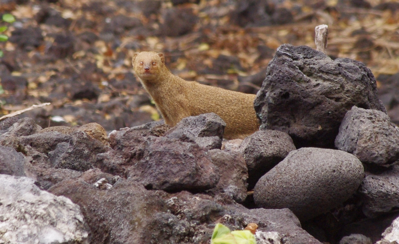 Filethe Mongoose Is Native To India And Was Brought To Hawaii To