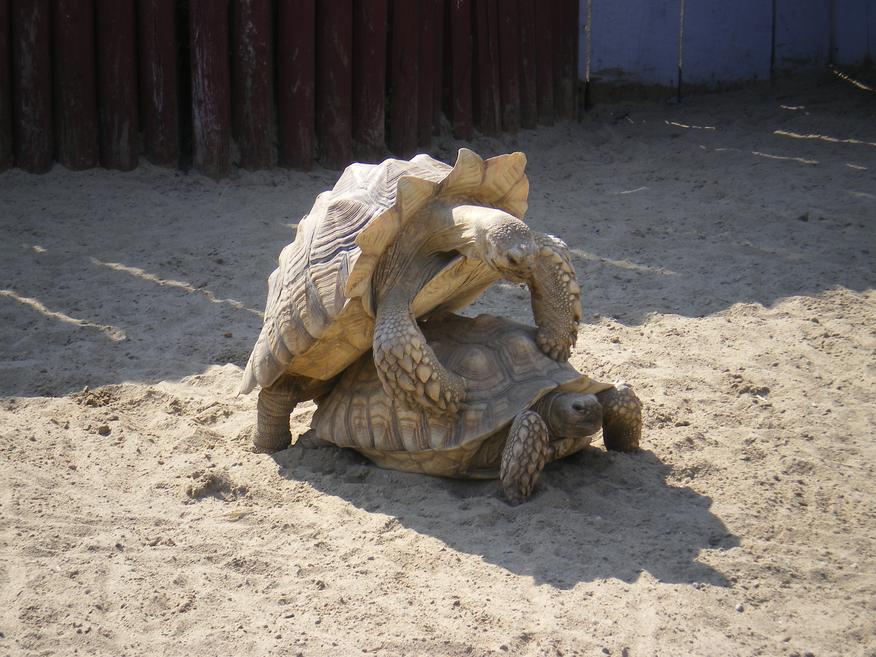 Description Tortoise mating.jpg