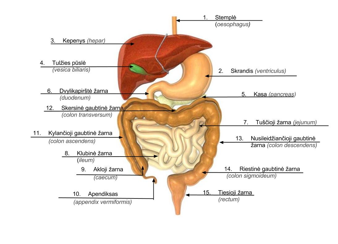 Zmogaus vidaus organai
