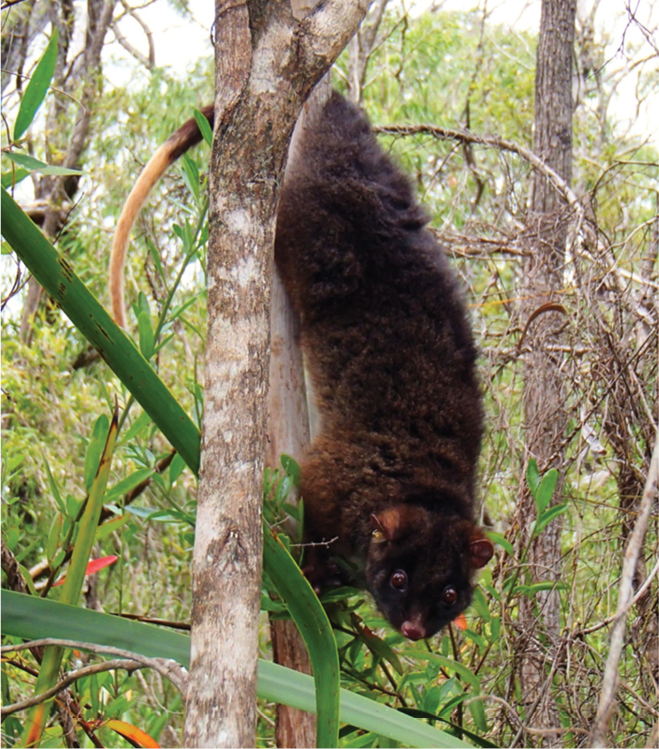 Western Ringtail Possum Wikipedia